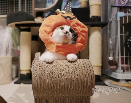 カレンダー撮影の為にかぼちゃになった猫ちゃん!デッカいかぼちゃが似合いすぎて可愛すぎる♪♪