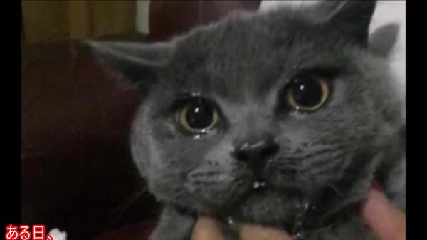 「美味しそうにゃ〜♪」と飼い主さんが見ていない隙に台所の料理をつまみ食いした猫ちゃんが大号泣!?