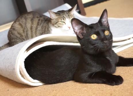 居るのを知っていながらもわざと下敷きにしちゃった確信犯な猫ちゃんと下敷きにされた猫ちゃんとのやりとりが可愛いww