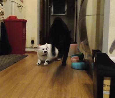 ドドドド!!!激しすぎる兄猫2匹の本気鬼ごっこにオドオドするしかない妹猫ちゃんがカワイイww