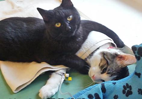 動物病院に勤める黒猫の看護師!?自分がしてもらった献身的な看病を他の動物達にもする1匹の黒猫の看護師猫さん