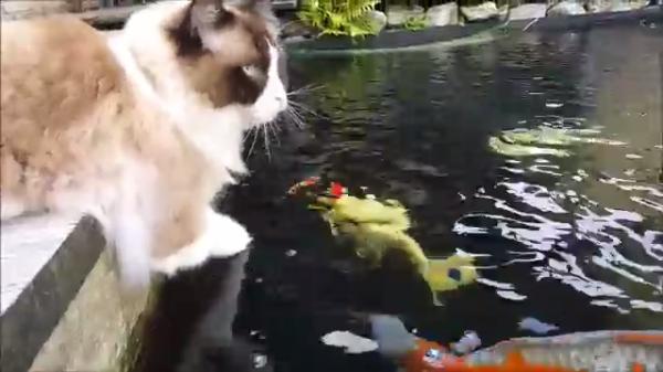 猫と鯉の不思議な関係♪口をパクパクする鯉が気になって仕方ない猫ちゃん…ついついやってしまう行動とは?(笑)