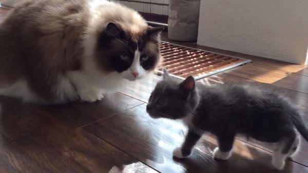 初めての子猫ちゃんと出会った猫ちゃん…さてどんな反応をとるのか?!