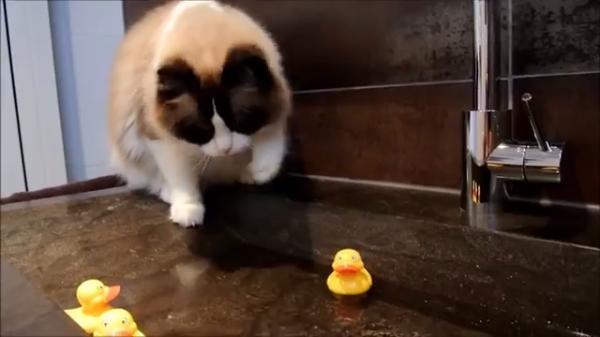 猫ちゃんを楽しませたい!!アヒルを洗面所に置いて猫ちゃんの遊び場に♪