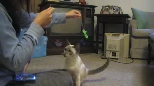 猫ちゃんだってやればできる!まるでワンちゃんのように芸をする猫ちゃん♪