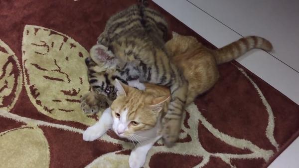 猫ちゃんvs子トラ!猫ちゃんと遊びたいトラの赤ちゃん♪