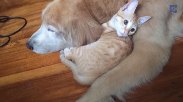ワンちゃんの側が落ち着くにゃ…おっとりしたワンちゃんとやんちゃな子猫ちゃんの関係性が素敵♪