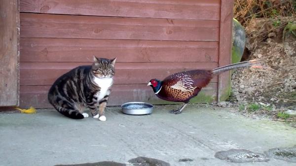 """猫ちゃんの前に突然現れた""""キジ""""!いったい何をしに来たのでしょうか?衝撃的な結末にご注目(笑)"""