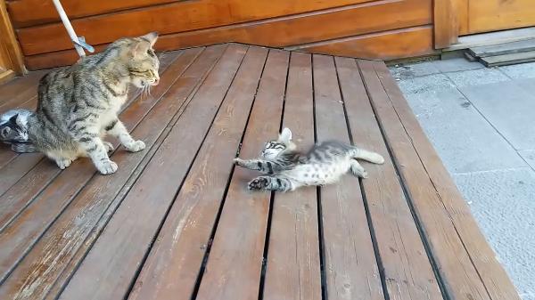 しっぽで遊ぶ子猫たちがかわいい♪遊んでいたら…大変!子猫が落ちていく…