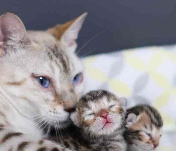 感動!悪徳ブリーダーから救い出され、苦難を乗り越えはじめて我が子を抱くことが出来たベンガル猫が知った母としての喜び…