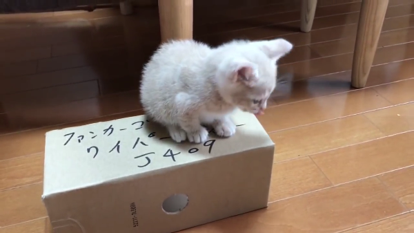 ゆらゆらする箱の上に乗って遊んでいた子猫に悲劇が!!元気が良すぎちゃいましたww