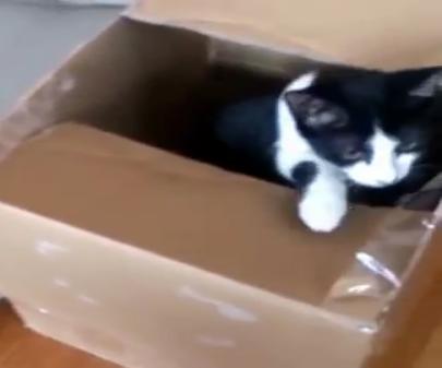 ダンボールトラップ発動中!!上に乗っかると底抜けになってしまうダンボールトラップに興味津々な子猫!