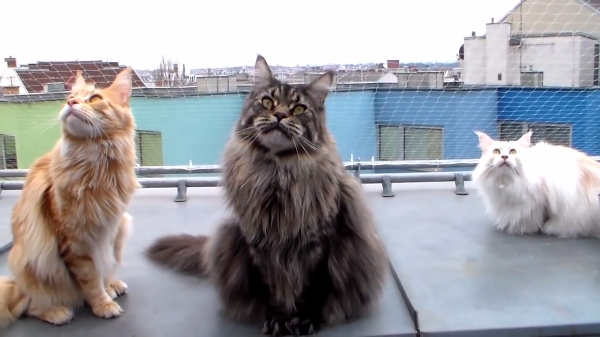 上を見上げる猫ちゃんたち♪三匹のメイクーンたちのシンクロがすごい!