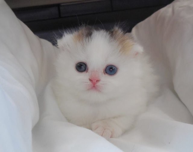 超稀少‼生まれる確率が100万匹に1匹といわれる三毛のオスのスコテの子猫ちゃん見つかる!