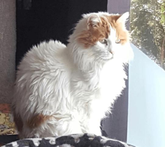 病を克服しゴージャスな姿を取り戻した猫は15歳で身勝手な飼い主に見捨てられガリガリに痩せて保護されていた