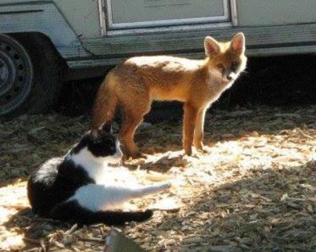 『ただいまぁ!ごはんある?』夕食の時間になると仲間だった猫たちのもとへご飯を食べにくるキツネ