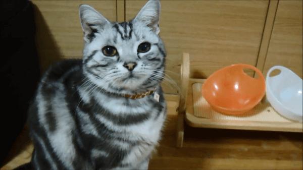 空のごはん皿をコンコン♪無言の圧力でジーッと見つめてごはんをおねだりす猫ちゃんが可愛い♪