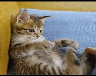 手加減を知らない子猫の噛みつきにお仕置き!!残虐なお仕置きのはずが可愛すぎる甘々なお仕置きになっちゃいました♪