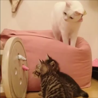 2匹の保護された子猫の母猫になった白猫さん。愛情いっぱいに育てた子猫との別れは突然やってきましたが新たな出会いもありました。