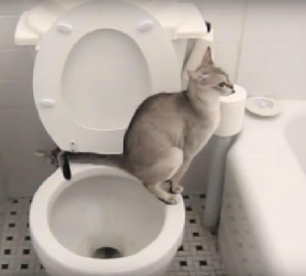 なんてお行儀がいいの!トイレで用足し便器洗浄まで。完璧にあと始末できるネコさんに驚きを隠せない!!