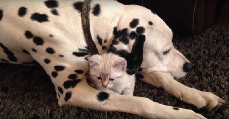 とっても仲良しなワンコと子猫ちゃん♡ワンコの腕の中でまったりする子猫ちゃんにほっこり♪