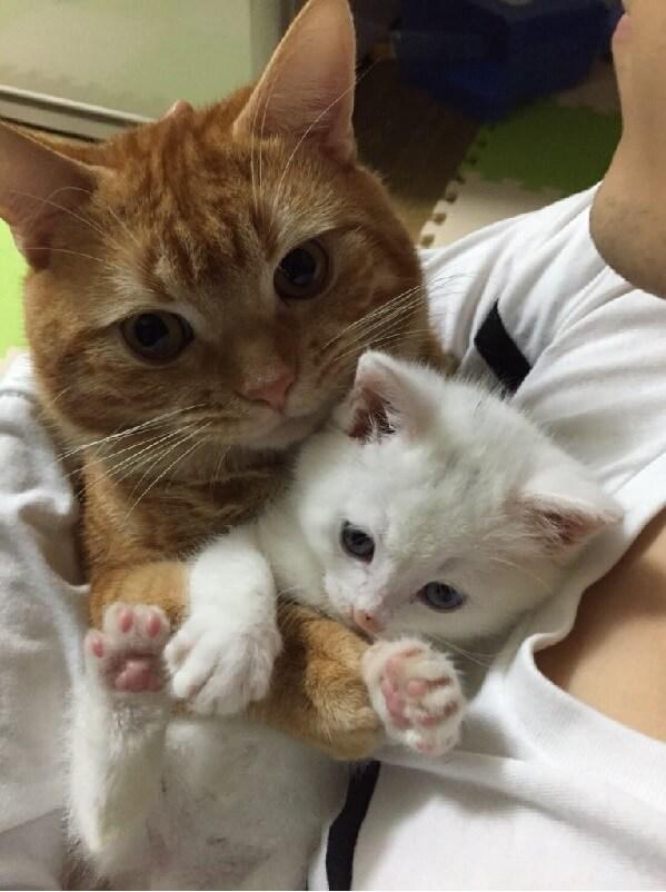 絶対に離れにゃい!新入りのとってもキュートな子猫ちゃんにゾッコンの先住猫さん♡