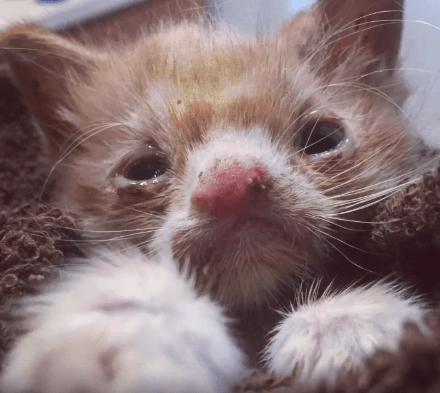 獣医学部に運ばれた先天的なハンディを抱え、感染症を患い衰弱した子猫。女性たちの献身的なお世話で輝きを取り戻す