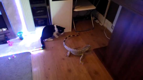 反応が意外!初めてイグアナと遭遇した猫がとった行動とは…?