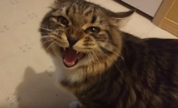 「やっと帰ってきたにゃ!」お留守番で寂しかった猫さん、お出掛けから帰ってきた飼い主さんに文句を言う姿がカワイイ♡