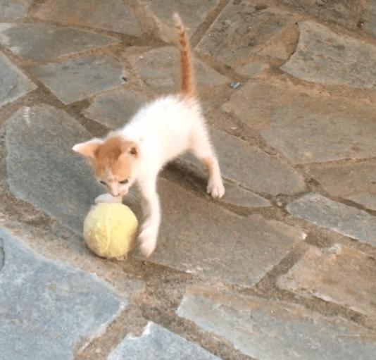 実家の庭に現れたお腹を空かせた1匹の子猫にミルクをあげてテニスボールで遊ばせたら・・・