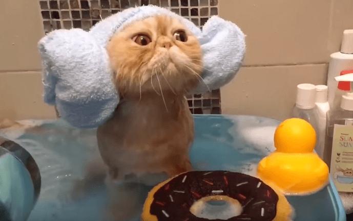 なんで平気なの!?お風呂に浸かってシャワーを浴びる猫!