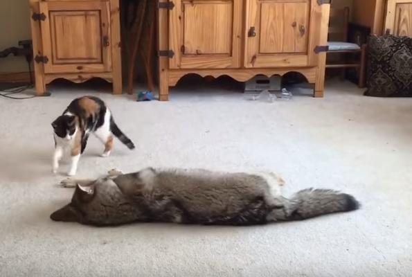 怖くないの?(汗)コヨーテと仲良く遊ぶ三毛猫さんがスゴイっ!