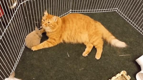 まるでママ♡子猫と間違われている子ウサギさんたち!