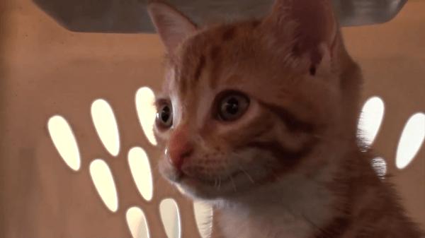 子猫と初めての動物病院!緊張している姿がとても可愛い♡