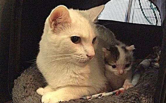 幼い頃、獣医師に保護され命を救われた猫。成長すると子猫の世話をする頼もしいパートナーに!!