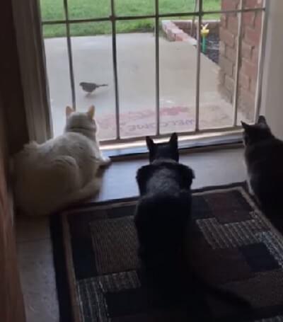 窓の外にいる鳥に集中している3匹の猫。じっと鳥を見つめる猫たちに起きた予想外の襲撃とは…