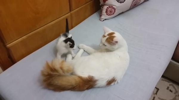 パパにガブガブされている子猫ちゃん(汗)急いで助けに来るママ猫の気迫がすごい♡