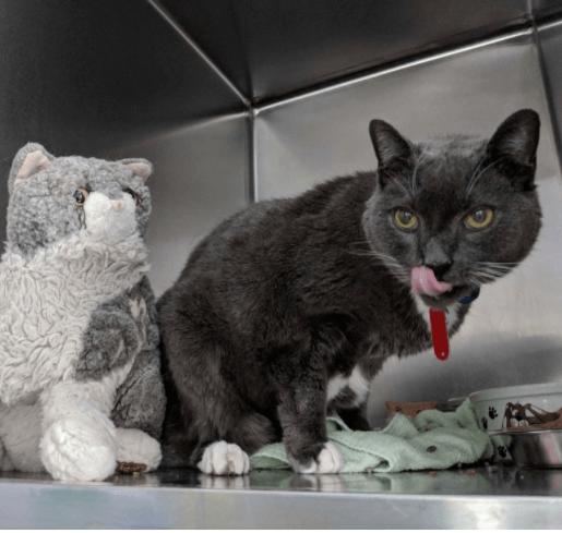飼い主に先立たれ新しい家族を待っていた親友の猫のぬいぐるみを連れた16歳の猫。猫を迎えた意外な人物