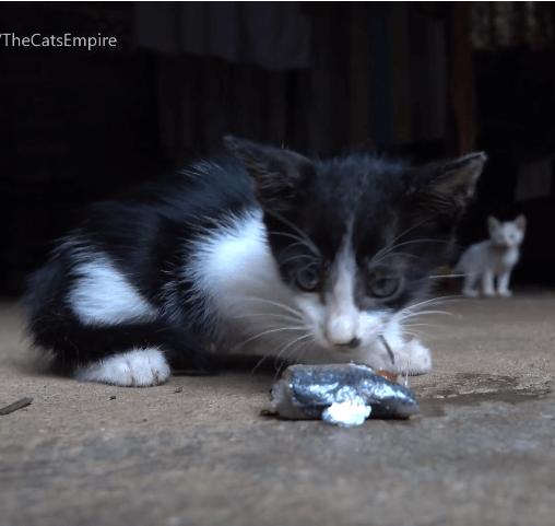 道端に捨てられていた2匹の子猫。世話をしている野良猫のコロニーで4匹の子猫を育てるママ猫に託してみた。