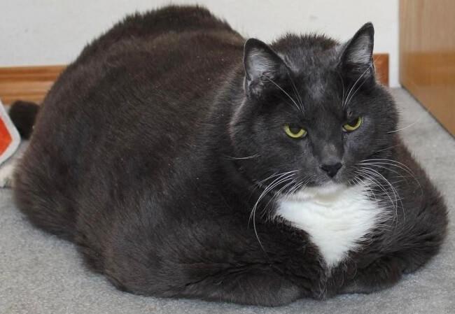 悲愴!驚くほど太っていたため保護施設へ連れて来られた猫。 1年かけてダイエットに頑張った結果…