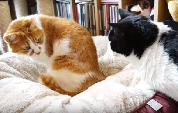 オス猫って大変!プライドをかけた猫ベッドの争奪が始まった…その結果に笑える