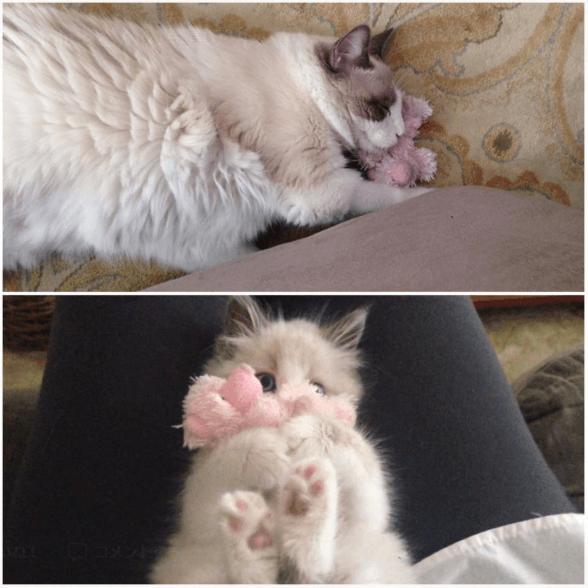 お気に入りのぬいぐるみに出会った子猫たちが肌身離さず一緒に成長しました。これからもずっと一緒だね