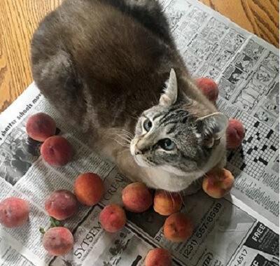 家族にとって夏の風物詩♪桃をこよなく愛する猫。毎年、見つけると桃にペッタリ寄り添う姿に癒やされる♡