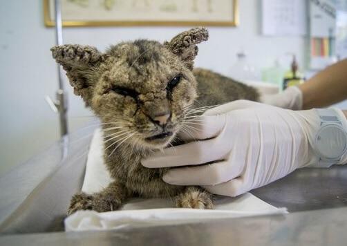 病気で全身の皮膚がただれて酷い状態で発見された野良猫。心優しい人たちのおかげで見違えるほど美しい姿に戻る!