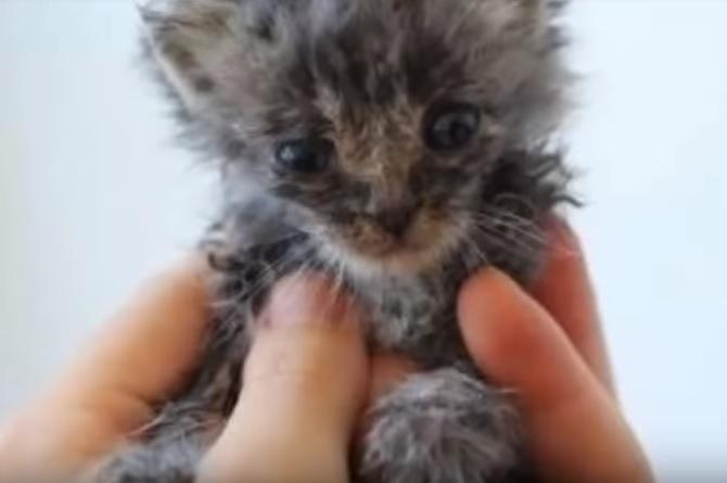 「おそらく助からないだろう」と言われた劣悪な多頭飼い崩壊の家から保護された子猫。献身的な介護を受けた結果…