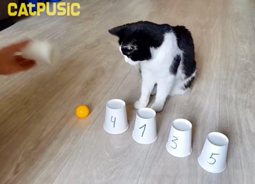 驚きの動体視力&頭脳!猫が「カップシャッフル」ゲームに挑戦!