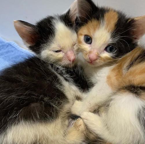 道路脇のゴミ袋の中から救助されたやせ細った体で座るだけで精いっぱいだった小さな子猫の兄妹