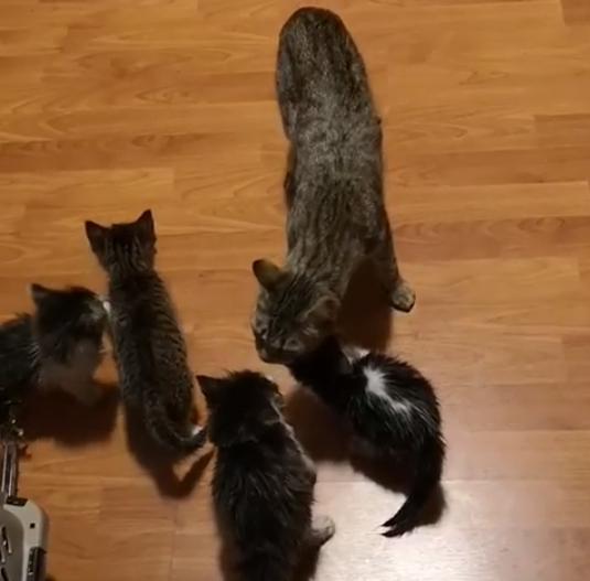 民家の小屋で見つかった子猫たちと2週間ぶりに再会した母猫