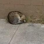 極寒の冬を目前にホームレスのシェルターの前で体を丸めていた野良猫