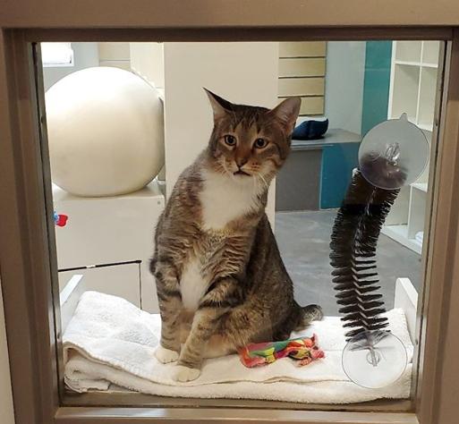 ドアを開けて仲間の猫たちをロビーに連れ出すシェルターで暮らす猫